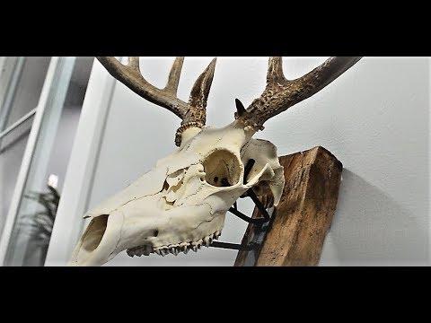 European Deer Skull : Basic How To