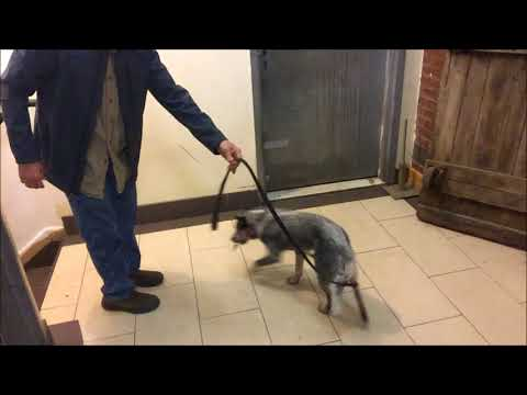 Positive Reinforcement without Food, Dog Picks up Keys