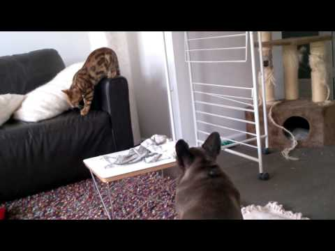 French bulldog and bengal cat fight for couch
