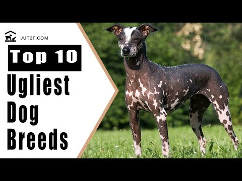 World's Ugliest Dog - Top 10 Ugliest Dog Breeds in the World