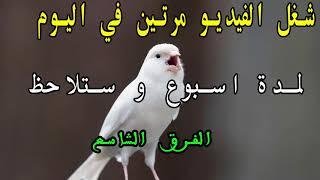 تغريد الكناري قوي لتحفيز الطيور على التغريد و تهييج الاناث