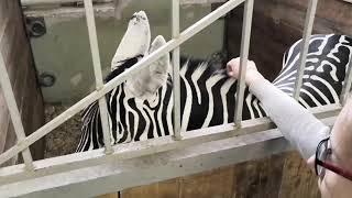 Слоны и тигры во Владивостокском цирке