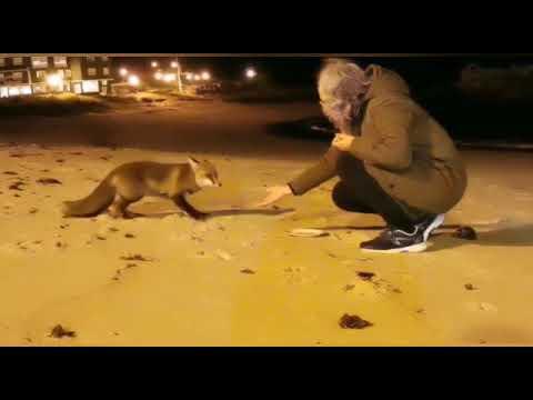 Un zorro como de la mano de una mujer en una playa gallega