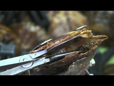 Torben Skov Pearls: Pearl farming
