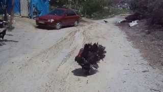 Beydağı'nda yol izni vermeyen culuk (hindi) tarlanıyor- Malatya