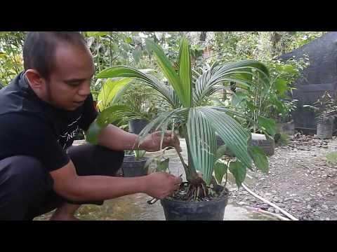 Cara Membuat Lumut Alami Bonsai Kelapa Youtube