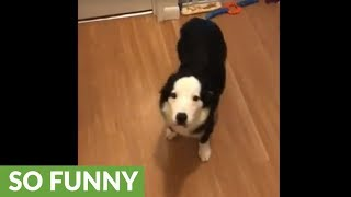 "Dog does ""happy dance"" upon owner's arrival"