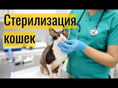 Вопрос: Как ведут себя стерилизованные кошки?