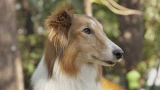 Collie Dog || The Beautiful Looking Dog Breed.