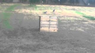 Baby Magpie in BIG trouble -kickin