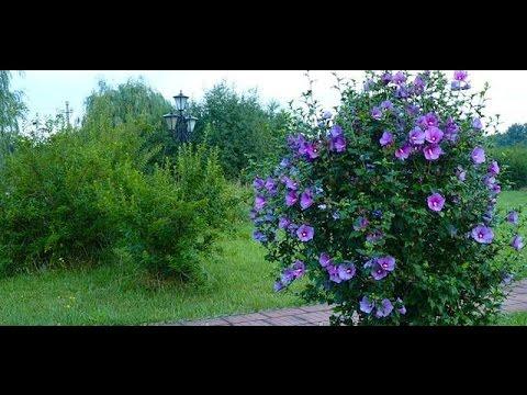 Гибискус. Выращивание молодых кустарников