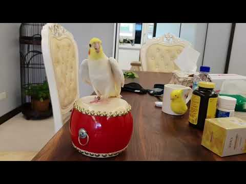 Cockatiel is most happy while drumming