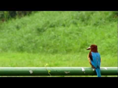 White-throated Kingfisher-Singapore