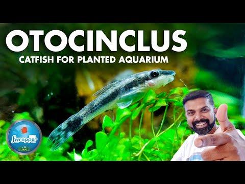 Otocinclus For Planted Aquarium || Algae Eating Fish