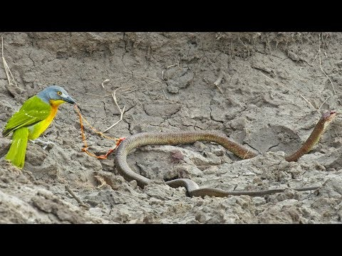 Bird Pulls The Guts Out of Snake!