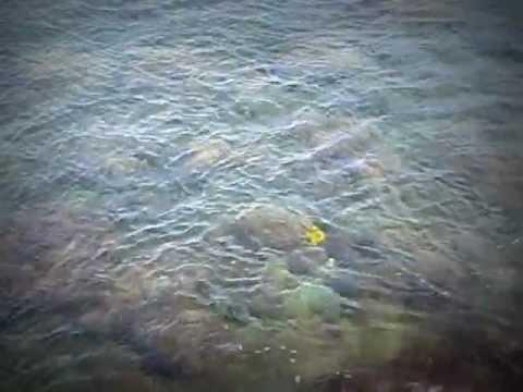 Yellow Fish in Hawaii