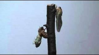 毎年、セミの幼虫を持ち帰っては、家で羽化させて子供達と観察していま...