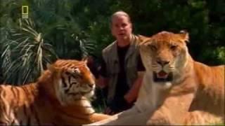Прикол. Лев+Тигр=Лигр.