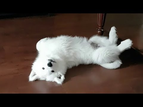 Samoyed Puppy doesn't want breakfast
