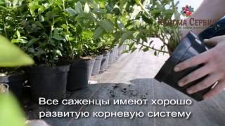 видео саженцы голубики