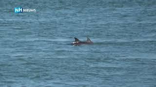 School dolfijnen gespot voor kust van Noord-Holland