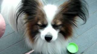 soraと一緒のブログにて掲載中♪ 食事の時にいつも飼い主のおひざの...