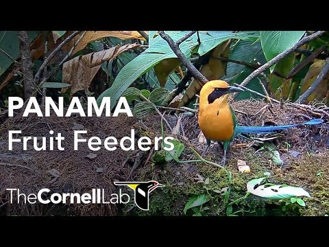 Panama Fruit Feeder Cam at Canopy Lodge | Cornell Lab & Panama Fruit Feeder Cam at Canopy Lodge | Cornell Lab - YouTube