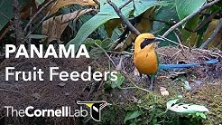 Panama Fruit Feeder Cam at Canopy Lodge | Cornell Lab