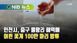 [NIB 뉴스] 인천시, 중구 을왕리 해역에 어린 꽃게…