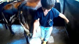 Como tirar leite de uma vaca a mão