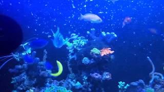 Кормление морских рыб артемией/ Reef fish feeding