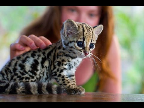cute baby ocelot kittens ● sweet pet Ocelot Kittens Playing || Funny cats and cute kittens