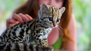 cute-baby-ocelot-kittens-sweet-pet-ocelot-kittens-playing-funny-cats-and-cute-kittens