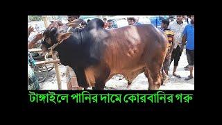 কোরবানি ঈদের জন্য ষাড় গরু কিনোন অল্প দামে | টাঙ্গাইলের বিখ্যাত দেওহাটা গরুর হাটে cow price 2020
