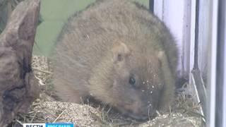 В Ярославском зоопарке появился степной сурок
