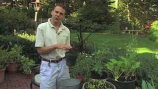 Transplanting A Bay Leaf