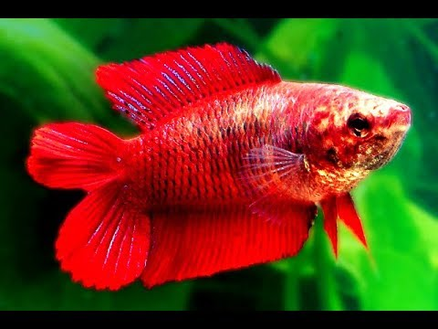 Kenapa ikan cupang tidak galak atau agresif.?? ( Why our betta fish is not aggressive.?? )