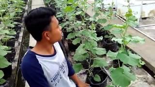 Budidaya melon - organik