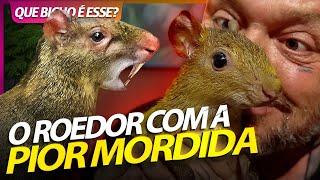 CUTIA O ROEDOR COM A PIOR MORDIDA QUE EXISTE!   RICHARD RASMUSSEN