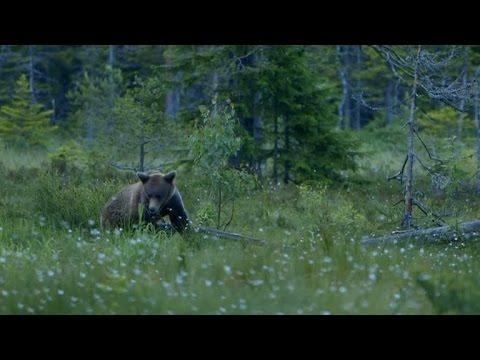 Molly Nutley på björnsafari i Hälsingland - Nyhetsmorgon (TV4)