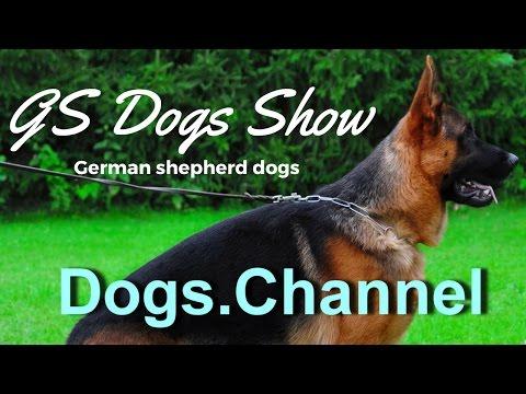 GS dogs show 1   German shepherd-gsd-shepherd dogs show-dogs