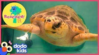 Huge Sea Turtle Was In Trouble Until A Team Of Heroes Saved Her | Animal Videos For Kids | Dodo Kids