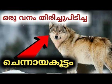 വനം തിരിച്ചെത്തിച്ച ചെന്നായ്ക്കൾ | Wolf | yellowstone  | churulazhiyatha rahasyangal