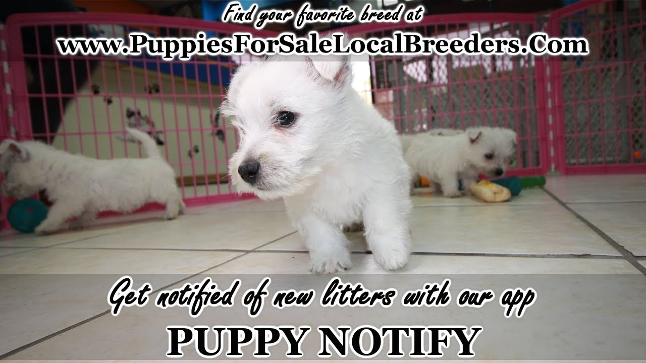 WEST HIGHLAND TERRIER PUPPIES FOR SALE, GEORGIA LOCAL BREEDERS, NEAR  ATLANTA, GA