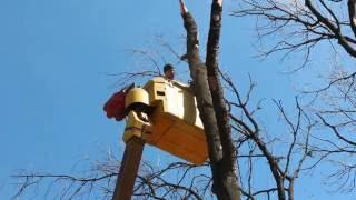 видео Опиловка деревьев