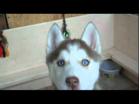 Light Red Female Siberian Husky Puppy With Blue Eyes Youtube