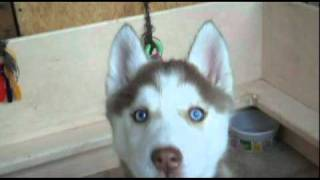 Light Red Female Siberian Husky Puppy With Blue Eyes