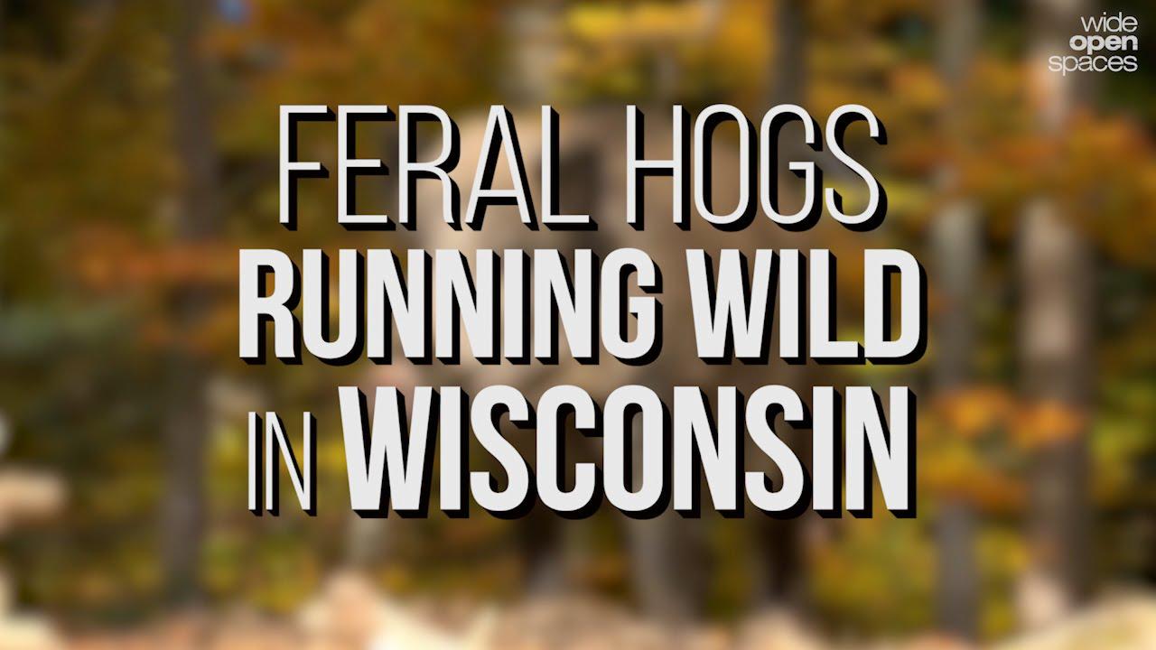 Feral Hogs Running Wild In Wisconsin Wide Open Spaces