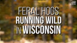 Feral Hogs Running Wild in Wisconsin -- WIDE OPEN SPACES