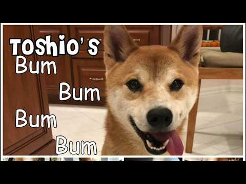 Meet DC Shiba Inu Rescue Adoptable dog Toshio